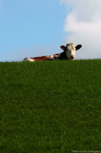 Big Cow is watching you
